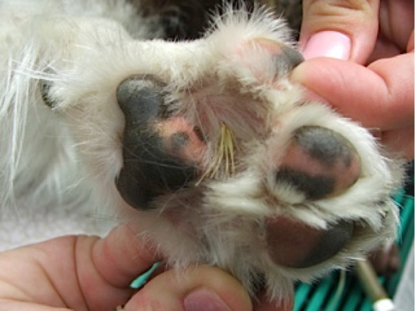 Foxtail in the Paw
